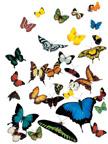 butterflies72