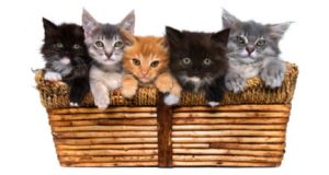 Kittens-in-a-basket3x6